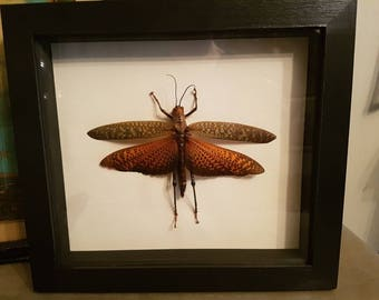 Gorgeous insect grasshopper taxidermy in frame