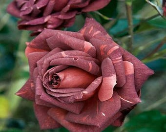 Brown pink rose seeds,287, flower roses seeds,roses from seeds,planting roses,growing roses from seeds,seeds for roses