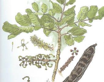 Vintage botanical print - Ceratonia Siliqua L. - 28