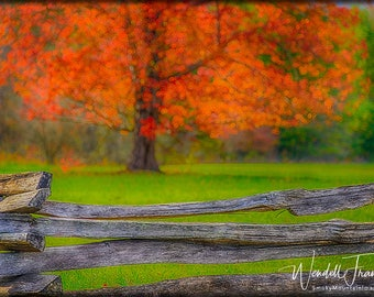 Fiery Tree and Ancient Fence E252.  Autumn, Color, Tree, Smoky Mountains, Tennessee, Cades Cove, Pioneer, Settler, Orange, Red, Vibrant