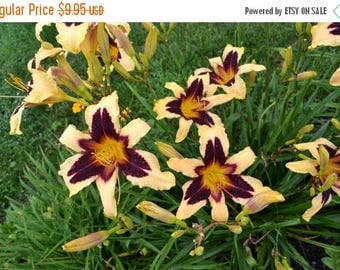 BIG SALE EGYPTIAN Queen Daylily (2 Bare Root) Summer flowering, Perennial-Now Shipping