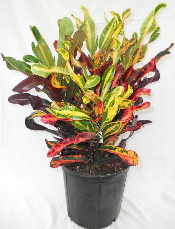 Tropical Croton Plant ...