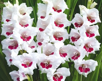 """SUMMER SALE! 6 Large Gladiolus Bulbs """"Fiorentina"""" variety, Beautiful pure white flowers with vibrant fuchsia-pink blotches at the center"""