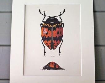 1963 Beetle Illustration by Prochazka / entomology / Insect Art / wall decor
