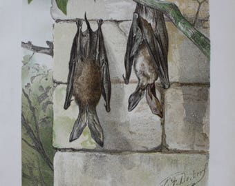 antique pring bat fying fox 1897