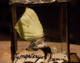 Mini cube with Gonepteryx with real butterfly.