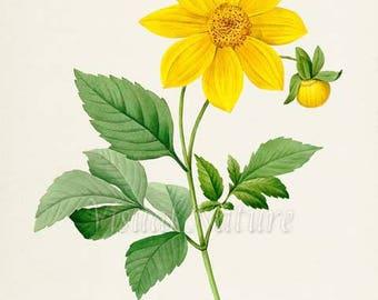 Aztec Dahlia Flower Art Print, Botanical Art Print, Flower Wall Art, Flower Print, Floral Print, Yellow Flower