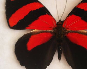 Real butterfly framed - Callicore cynosura