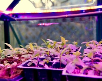 Organic Anamu Plant (Guinea Hen Weed)