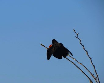 Angry Red-Winged Blackbird Series