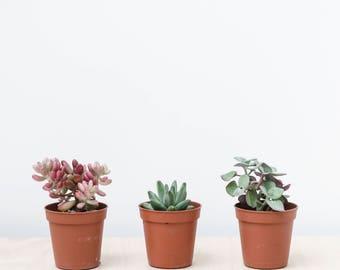 X3 Small Succulents