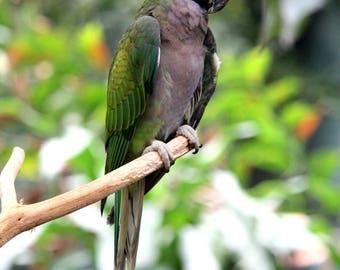 Green Parrot 13x19 Print