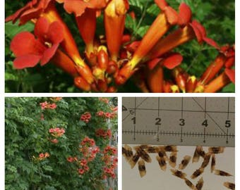 20 seeds Campsis radicans also know as Trumpet Vine, organically grown(no pesticides!)