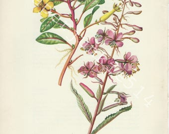Vintage Book Plate -  Botanical - Flowers - Wild Flowers / Primrose Willow - Fireweed