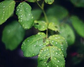 Raindrops - Fine Art Photograph, Spring, Green, Nature, Wall Art, Room Decor