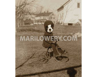 Boston Terrier Art, 5x7 Inch Print, Dog on Bicycle, Animal in Clothes, Anthropomorphic, Small Print, Animal Wall Decor