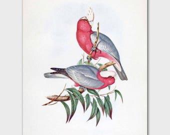 Cockatoo Art Print (Pink Home Decor, Vintage Cottage Birds, Grey Office Print) --- 19th Century John Gould Artwork