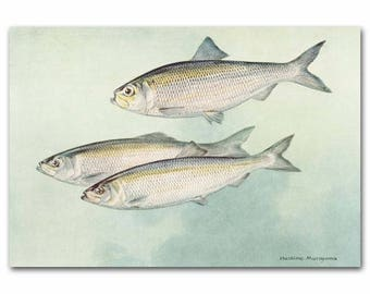 """Fish Print, 1930s River House Decor, Office Wall Art --- """"Alewife Herring"""" No. 65"""