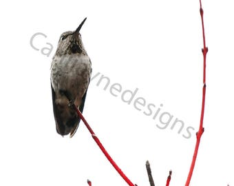 Humming Bird - Photo Print