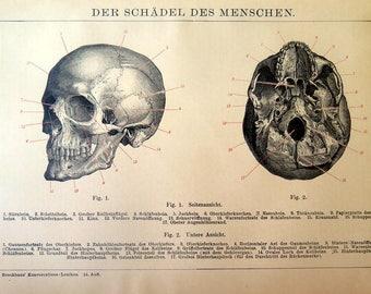 1896 Ancient ANATOMY engraving,  odd Skull print,antique human skeleton bones, curiosity oddity amazing cranial plate