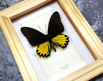 FREE SHIPPING Framed Troides Helena Common Birdwing Butterfly Taxidermy A1-/A- #51