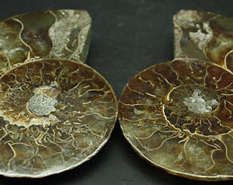 Ammonite Fossil, Cut and Polished, Madagascar  - Mineral Specimen for Sale