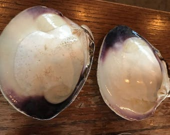 Clam Wampum purple Shells Natural Genuine Lot of 4 quahog shell batch3