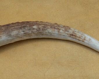 Elk Antler Tip Tine - 7 Inches
