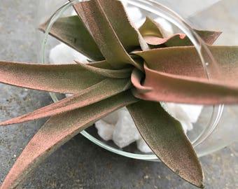 DIY Pink Abdita Airplant Terrarium Kit