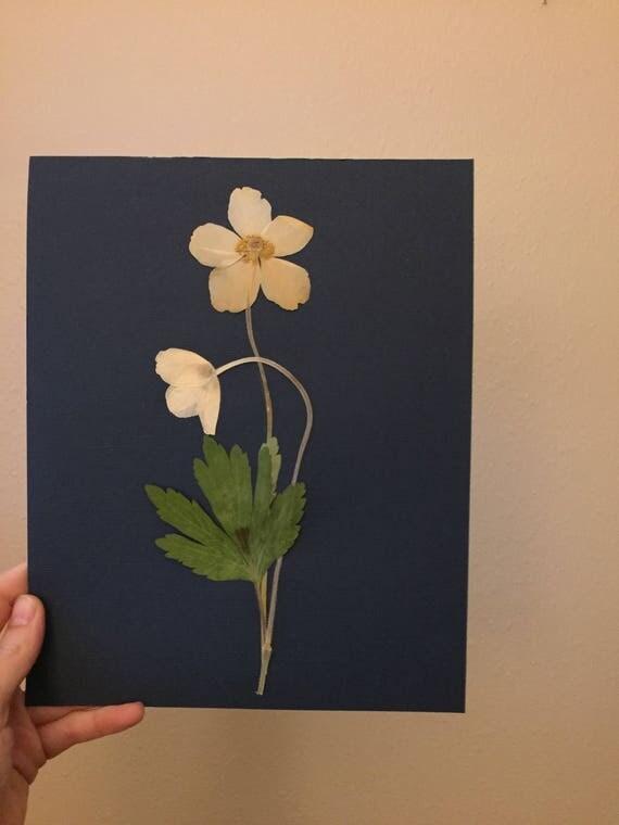 Lenten Rose Herbarium Art - White Flower Botanical Art - Real Pressed Flower-  Vintage Botanical - Framed Botany Art- White & Navy