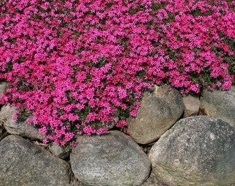 Creeping Phlox 'Scarlet Flame' - (Phlox Sublata) - live plants - perennial plants - rock garden plants - ground cover - spring plants