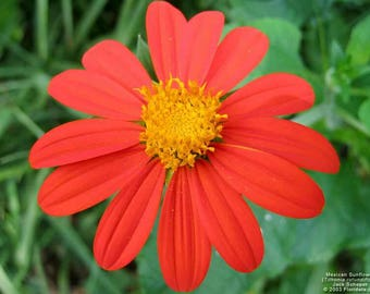 Mexican Sunflower seeds. Tithonia rotundiflora. Chemical free.