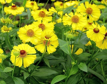 Sneezeweed Seeds. Helenium Autumnale. Chemical free.