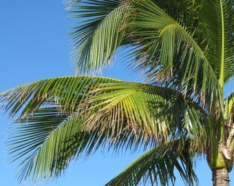 Aruba Palm Tree VI