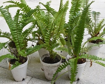 """Organic Boston Fern (Sword fern). Live Plant in container. Plant approx. 10-12"""" height."""
