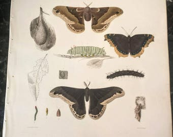 1854 Emmons Attacus Prometheus ~ MOTH Insect / Entomology Lithograph