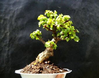Micro Bonsai - Perfect Bonsai - Very old plant
