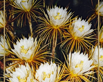 Night Blooming Cereus NoteCard. Fine Art Vintage Photography. A Cluster of These Rare Cactus Flowers. Saturated Color. Premium Card Stock.