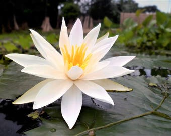 Nymphaea Pubescens White 15/500/2000 Seeds, Hairy Water Lily For Aquarium Or Ponds