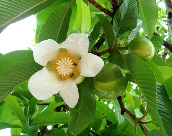 Dillenia Indica 15 Seeds, Elephant Apple Edible Fruit Shrub Tree, Fragrant Chulta