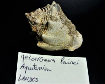 Fossil gastropod; Melongena lainei
