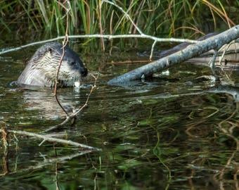 Feeding River Otter