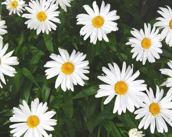 SMALL SIZE - Photography - Quebec - Château-Richer - Wild Daisies
