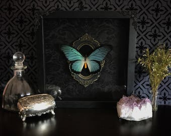 Victorian Giant Blue Swallowtail Butterfly Shadow Box, Real Butterfly, Taxidermy, Framed Butterfly, Victorian, Memento Mori, Gothic Decor,