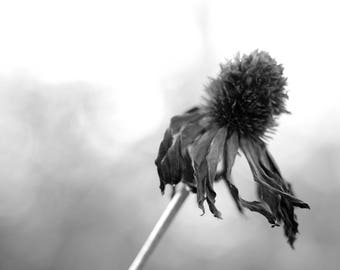 "Coneflower, Black and White, Photography, Digital Photography, 8""x12"", Echinacea, Print, Ready to Ship"