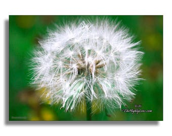 Dandelion {Photography} for Framing, Greeting Cards, and Postcards