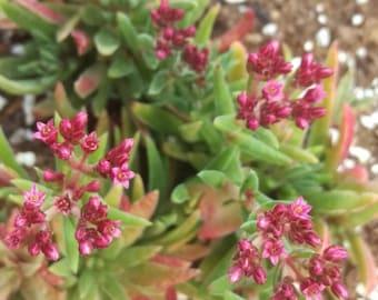 crassula exilis subsp. schmidtii 'fairy tongue' succulent cactus starter plant