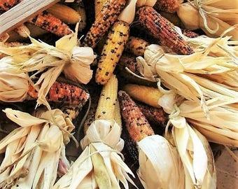 "50 Indian MINI MIX CORN Miniature 4"" Ears Ornamental Zea Mays Vegetable Seeds"
