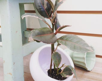 Ruby Ficus Plug  (1)