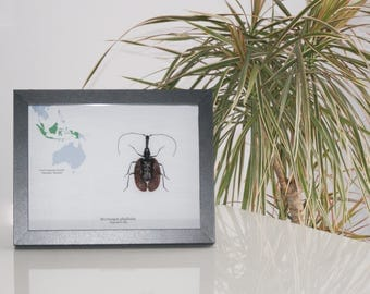 Insect framed DISCOVERY COLLECTION  Mormolyce phyllodes